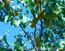 абрикос в средней полосе