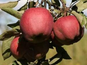 яблони - обрезка