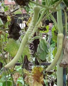 лагенария - индийский огурец