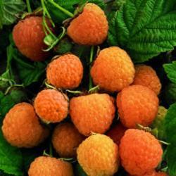 малина желтая - ягоды