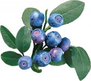 голубика садовая или черника