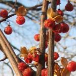 древогубец - плоды