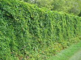 древогубец - вертикальное озеленение