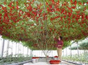 сорта томатов - спрут