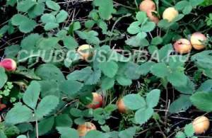 абрикосы на севере - фото