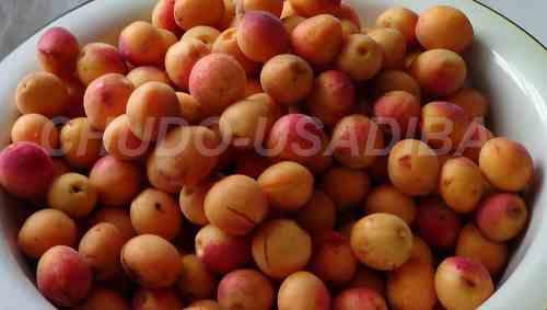 абрикосы - выращивание