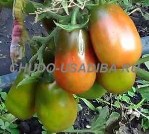 мелкие помидоры сорта