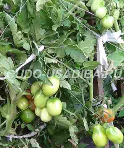 мелкоплодные помидоры сорта